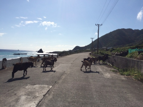 Chèvres traversant la route à Lanyu